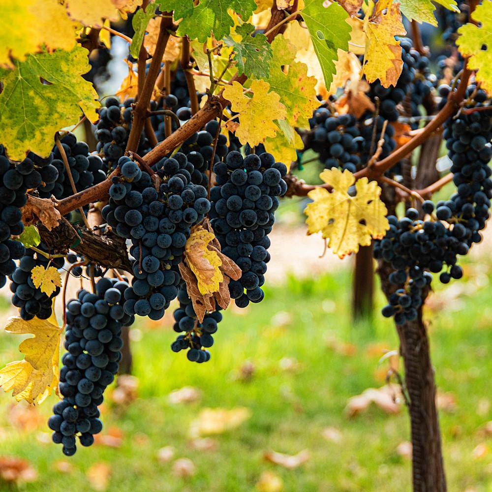 Grapes z29vuf