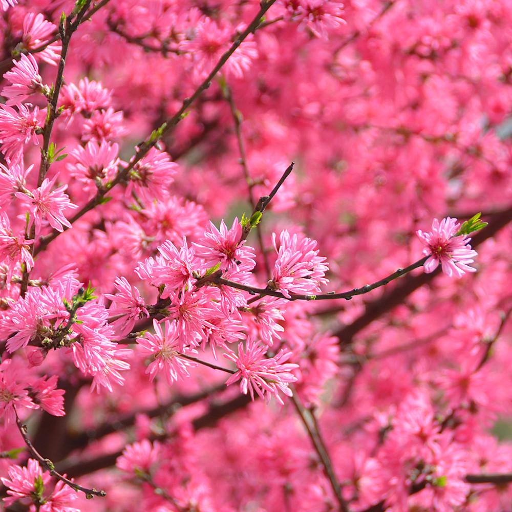 Hot pink cherry blossom upsaaj
