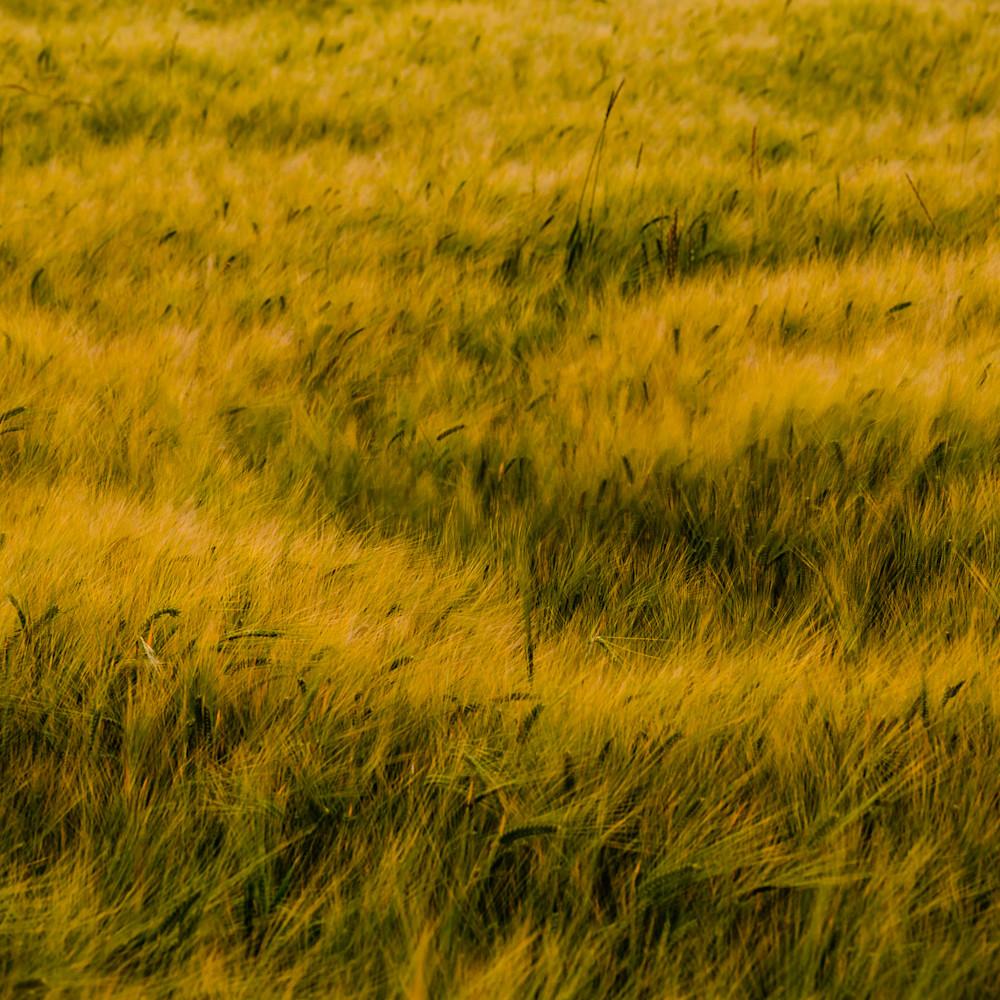 Barley field no 3 whidbey island washington 2016 lj5qfp