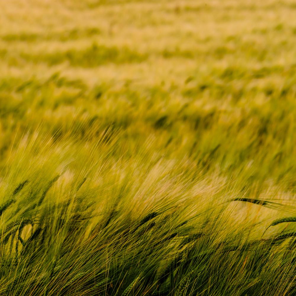 Barley field no 1 whidbey island washington 2016 wvvxcf