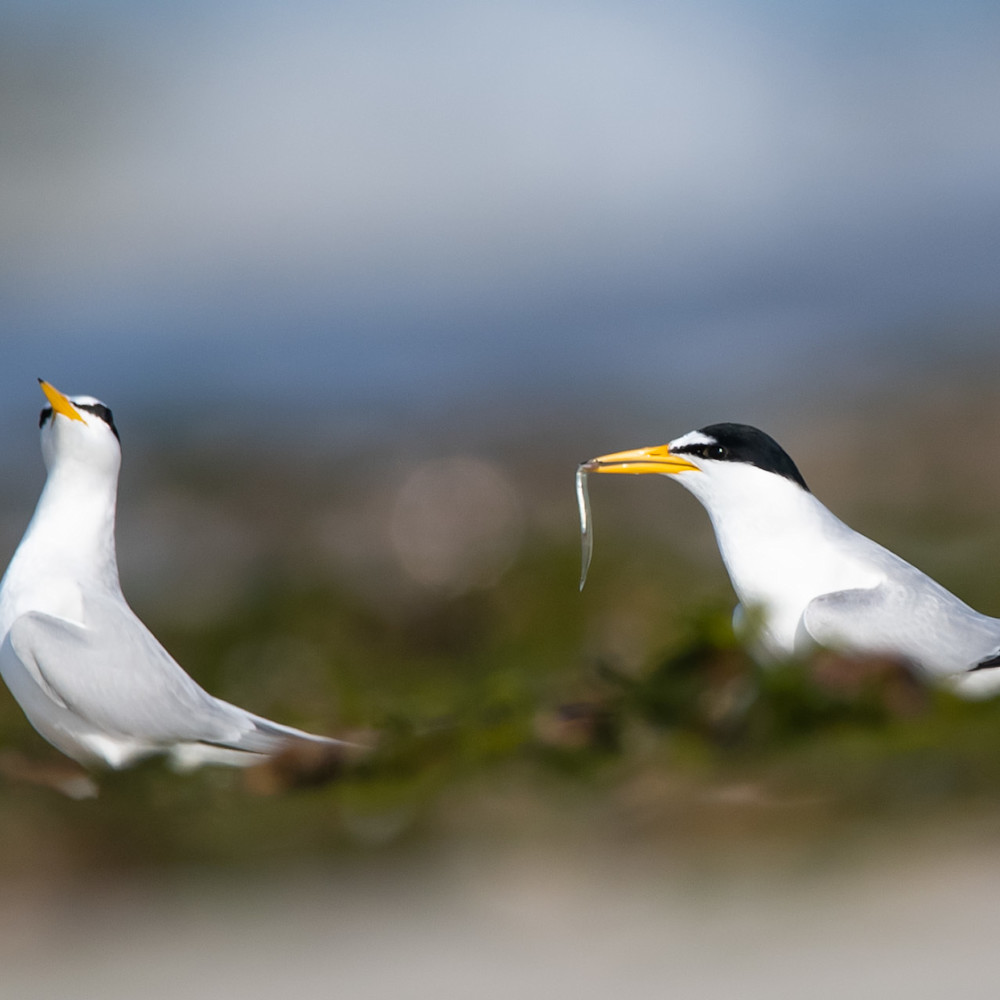 Least terns courting bz2smp