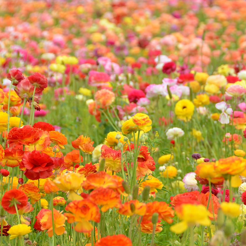 Flower fields ollyxz