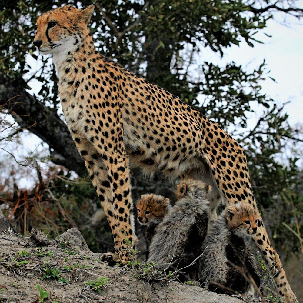 Cheetah mom and cubs 30 dwtguc