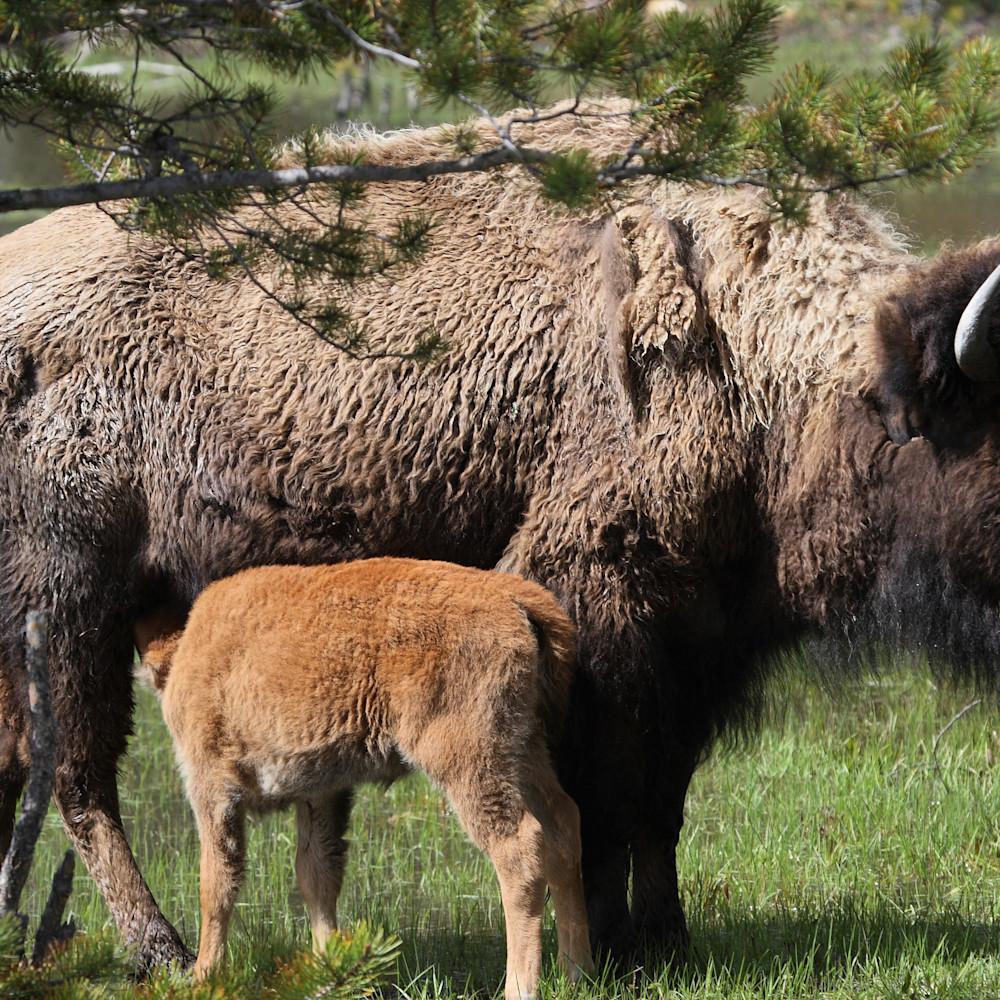 Bison and calf r3jr5b