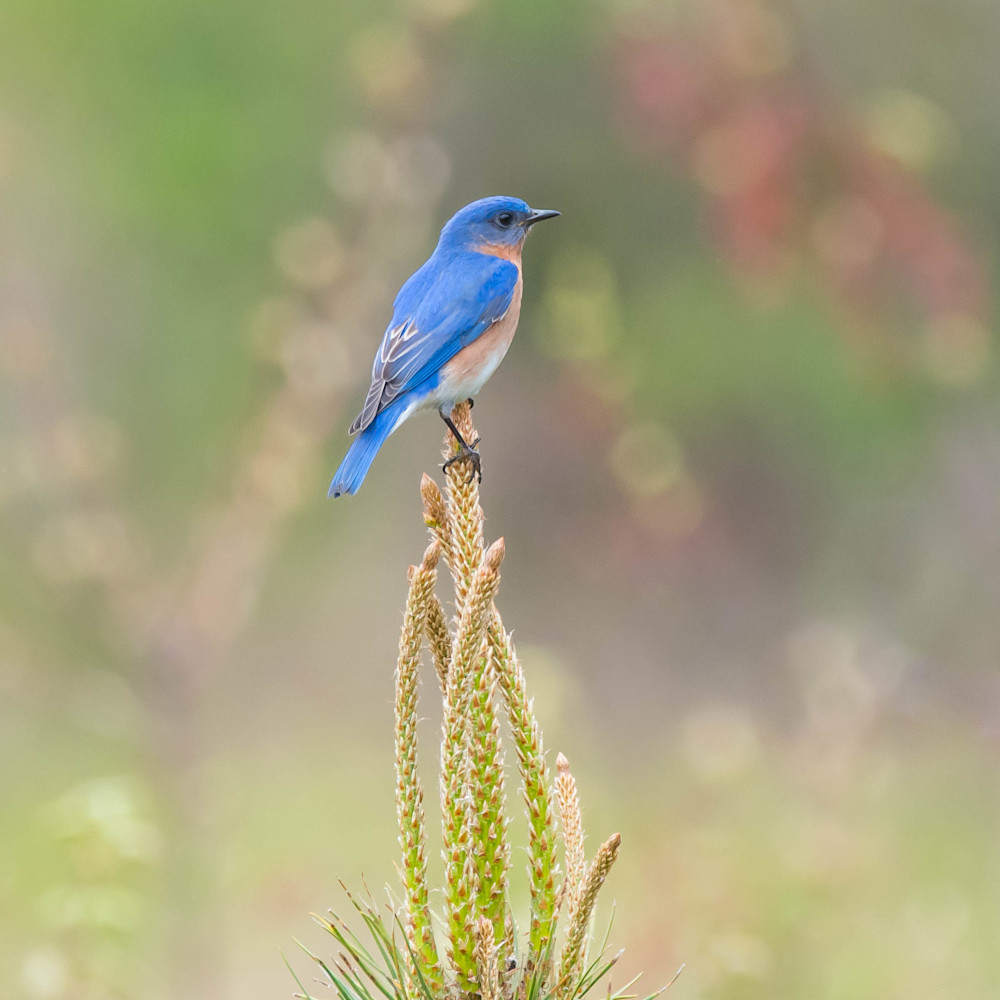 Bluebird perched on pine 2 staxuf