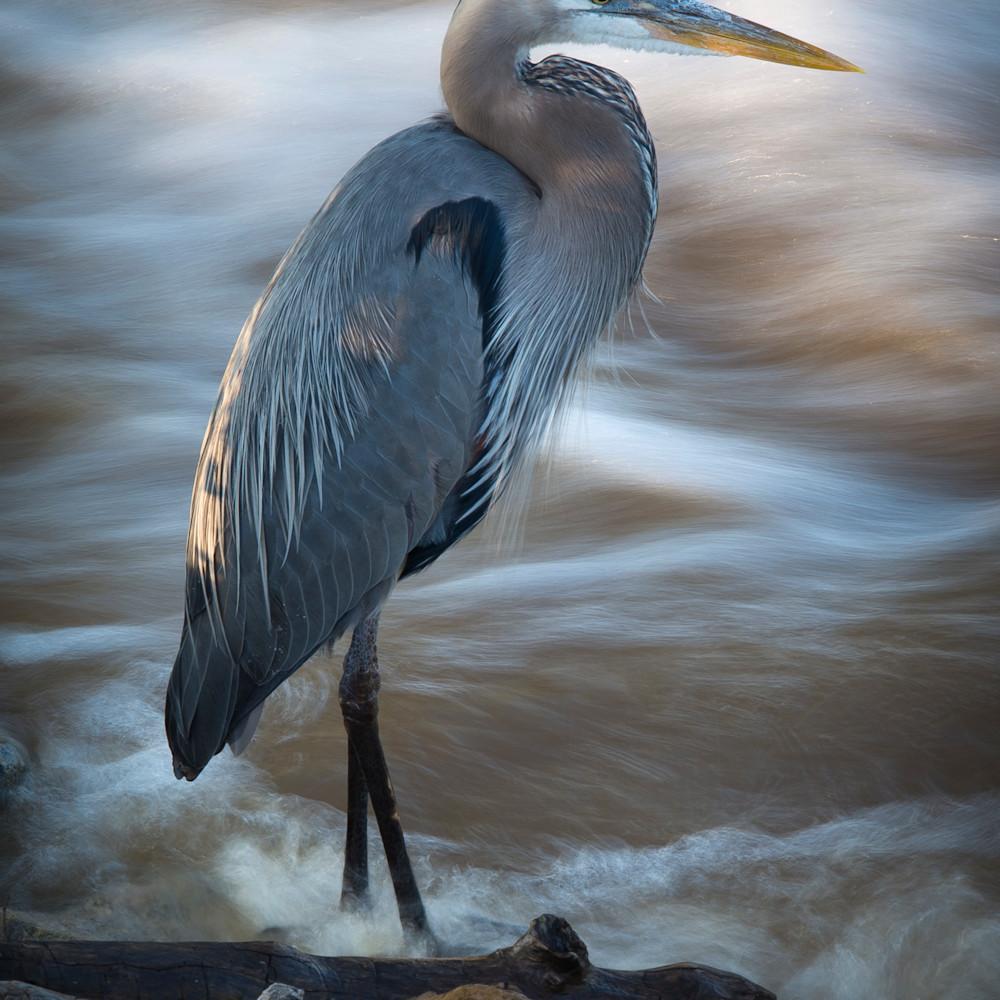 Great blue heron th4o5e