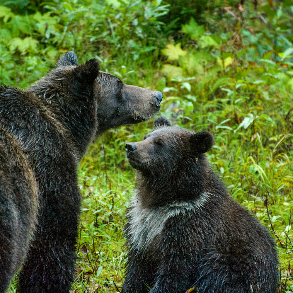 Dsc 5065 mom grizzly and cub 24x19 mp98n9