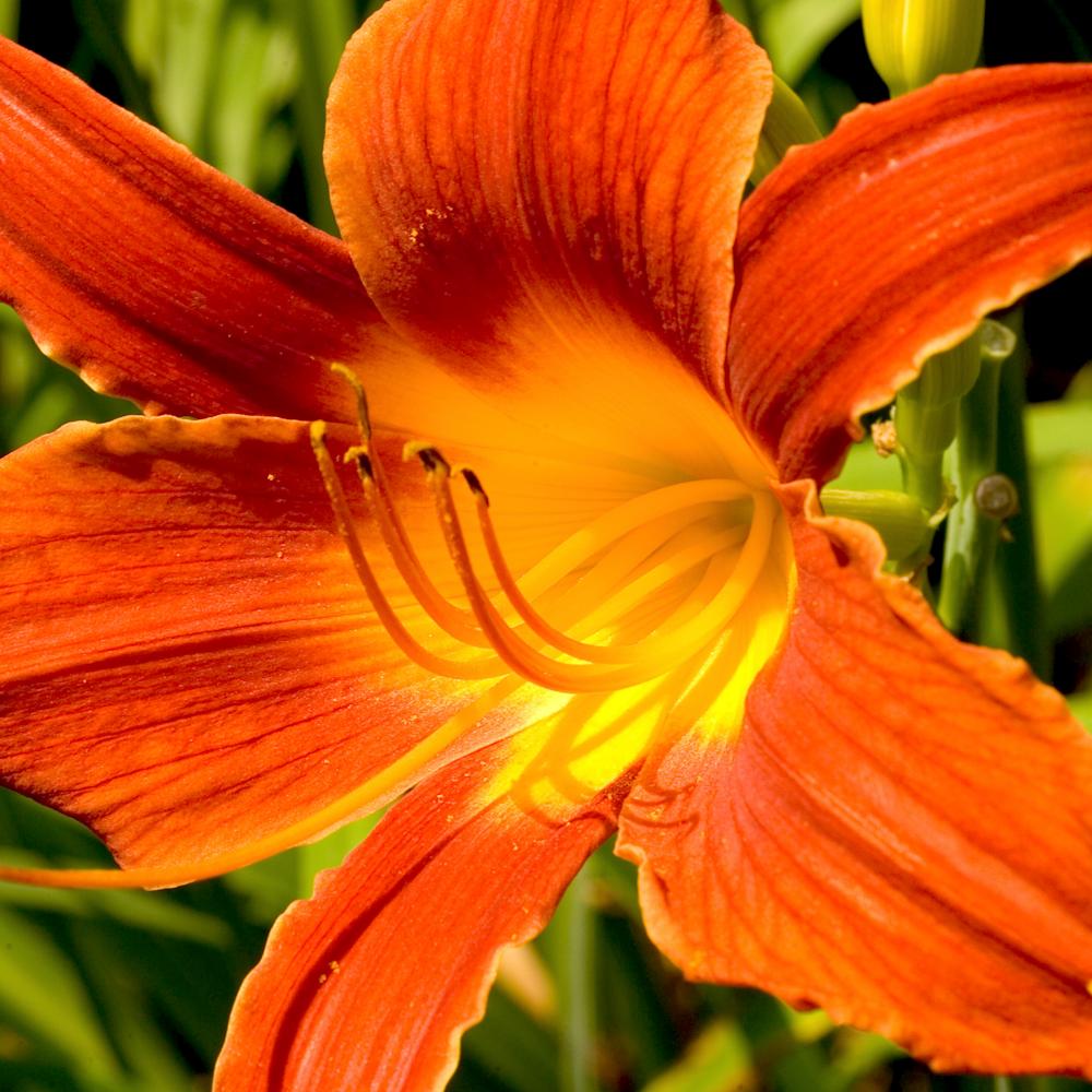 Gk884662 red lily ecu 16x20 evk6w4
