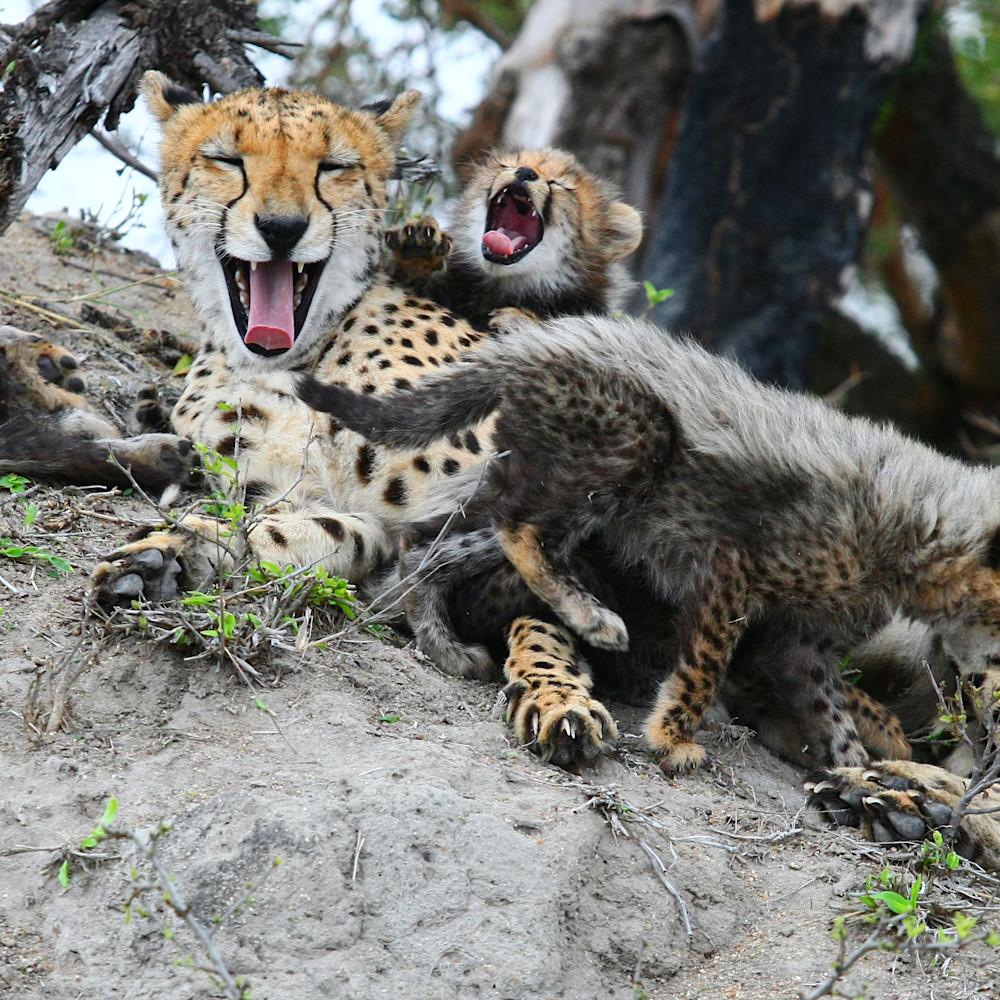 Cheetah mom and cubs 6 gpyzqb