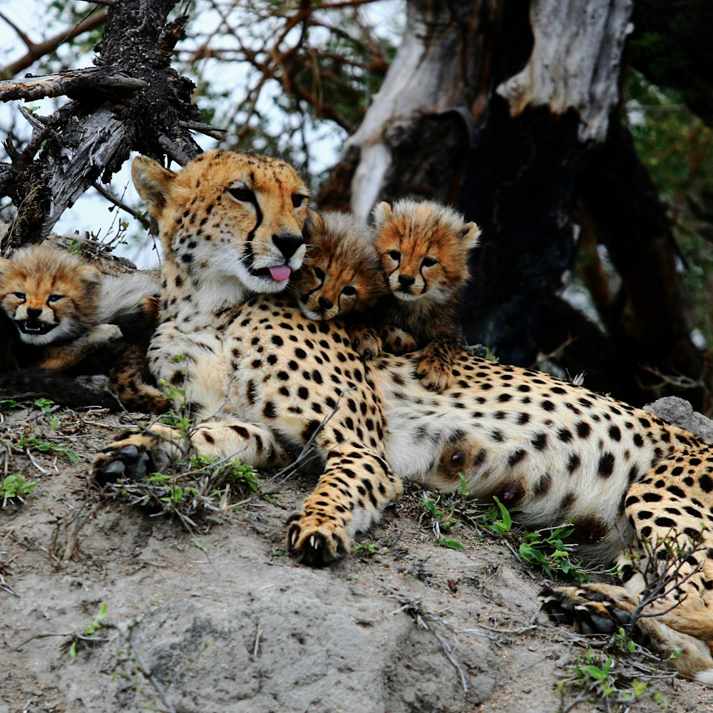 Cheetah mom and cubs 8 ft3xe6