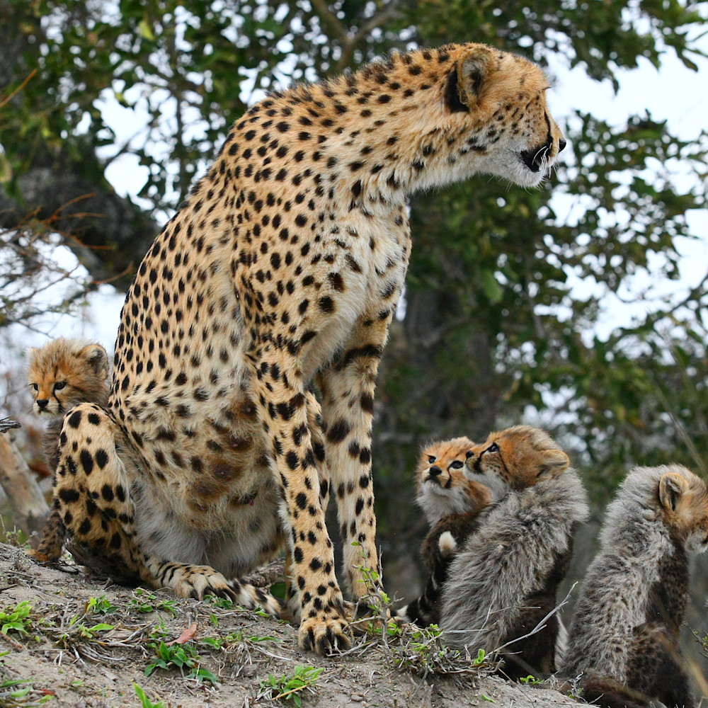 Cheetah mom and cubs 4 x7hyyh