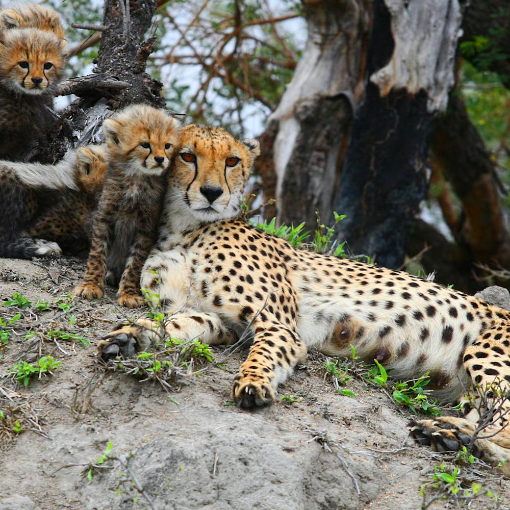 Cheetah mom and cubs bwpyqr