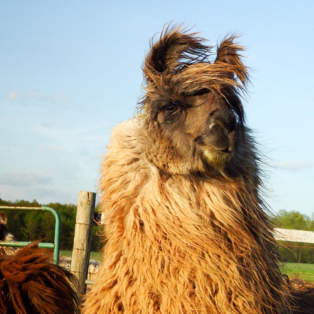 Windblown blond llama v3w6rp