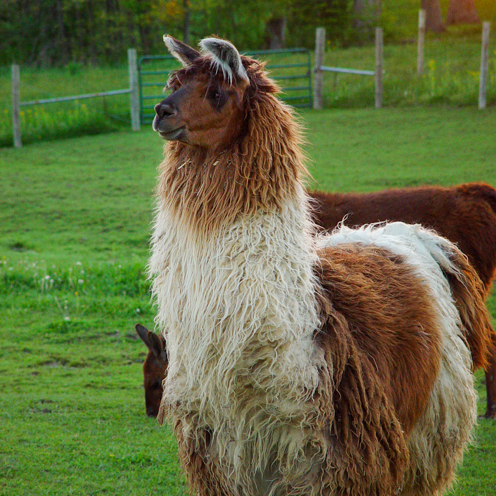Brown and white sunset llama 2 gloxnk