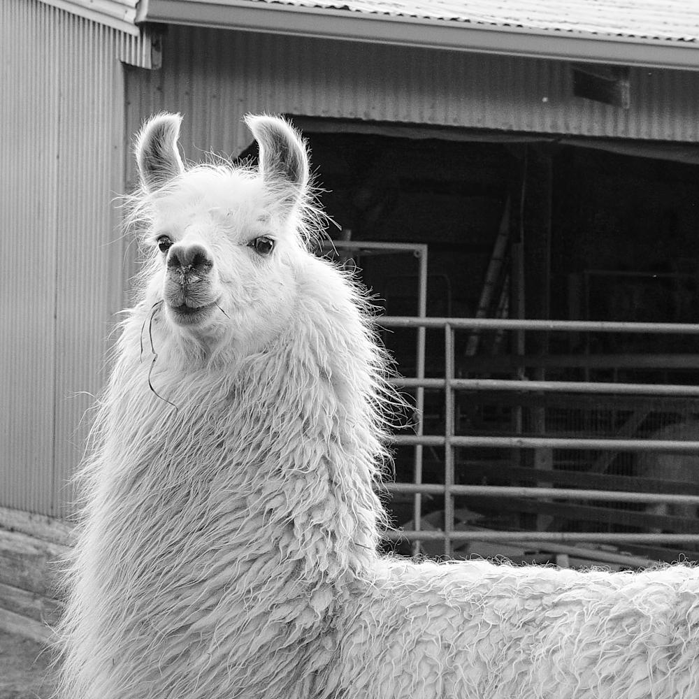 Lady llama bw flqbih