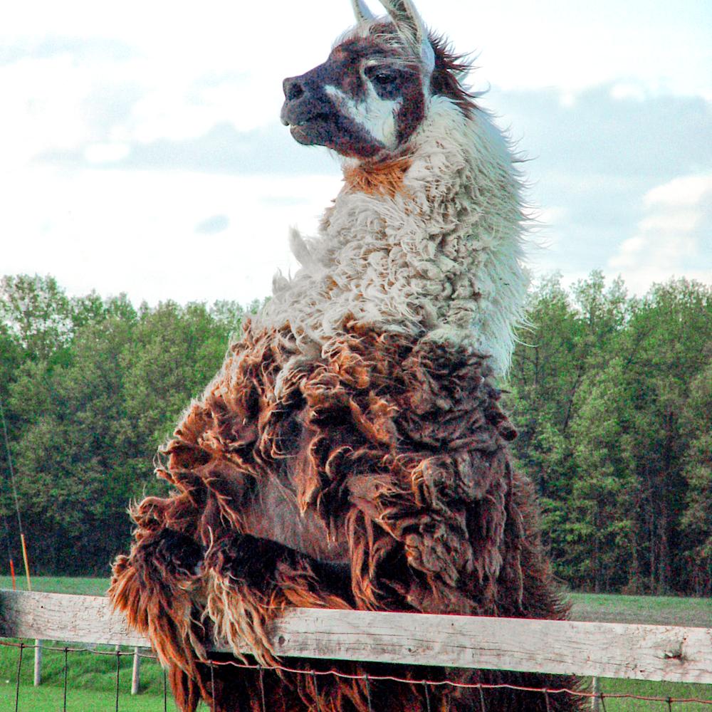 Neighborly llama vwega5