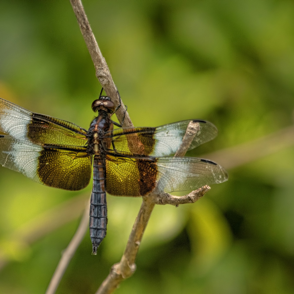 Dragonflies g  mg 6734 20fs koral martin e5qi11
