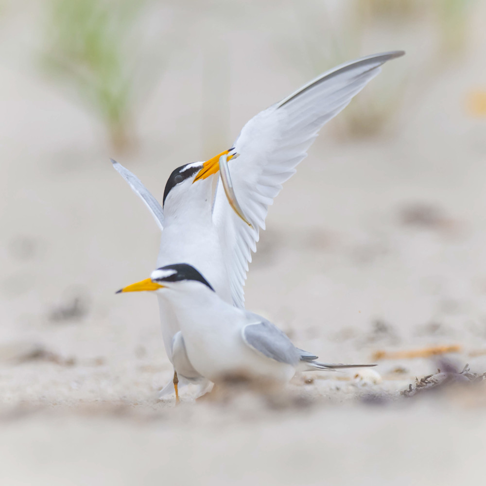 Least tern courtship ftyby1