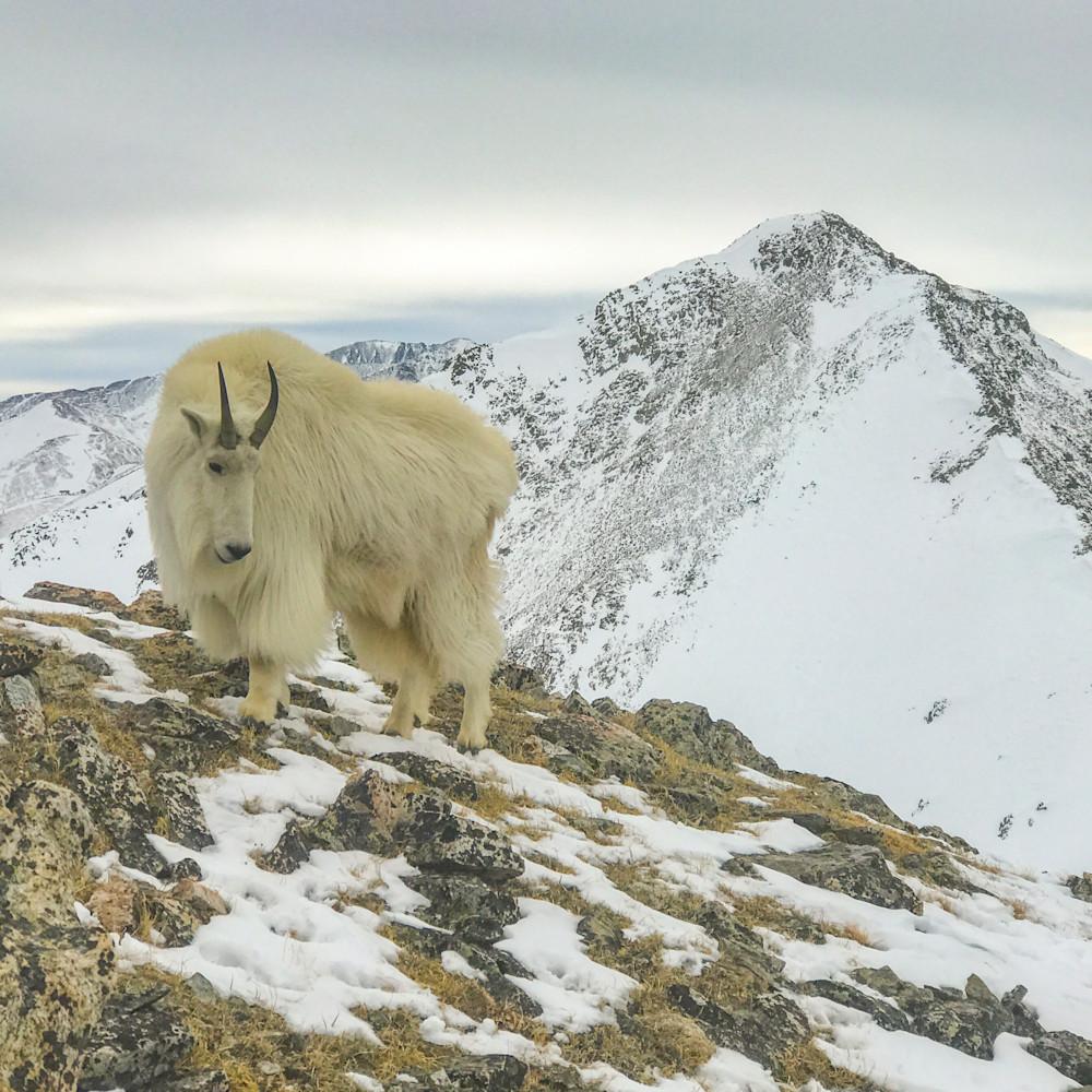 Mtn goat 2x3 print d74pyh