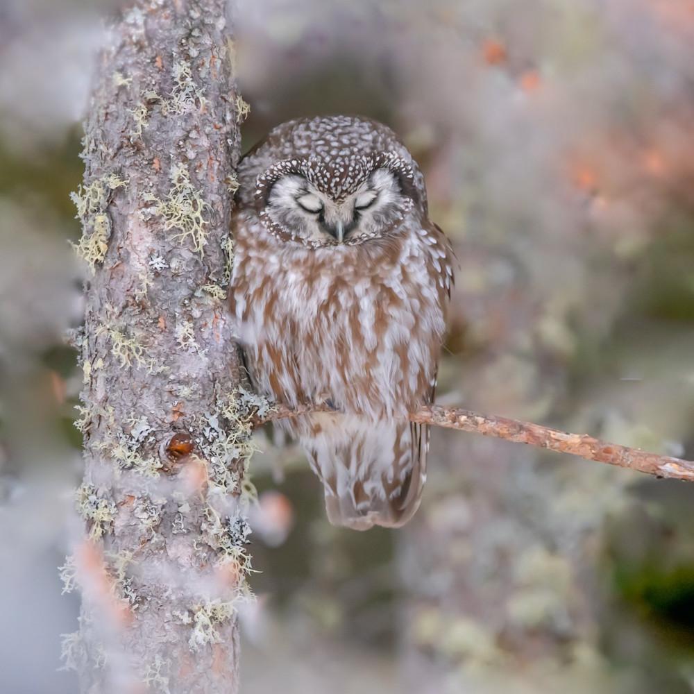 Boreal owl website cfizsf