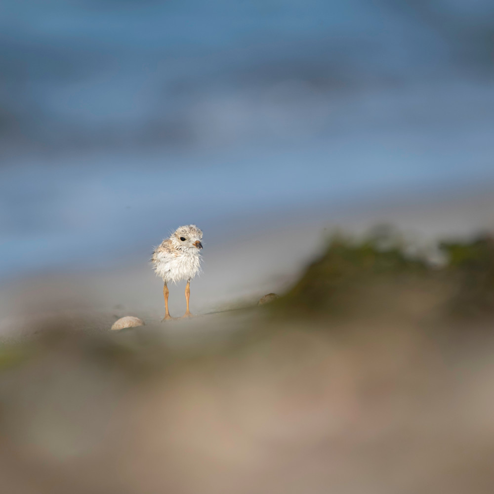 Piping plover website gz8isd