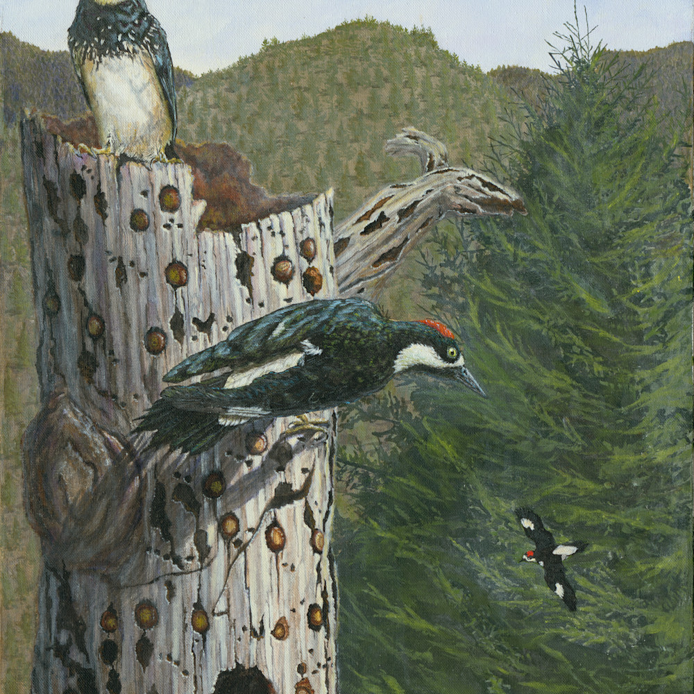 Acorn woodpeckers  large r9jbot