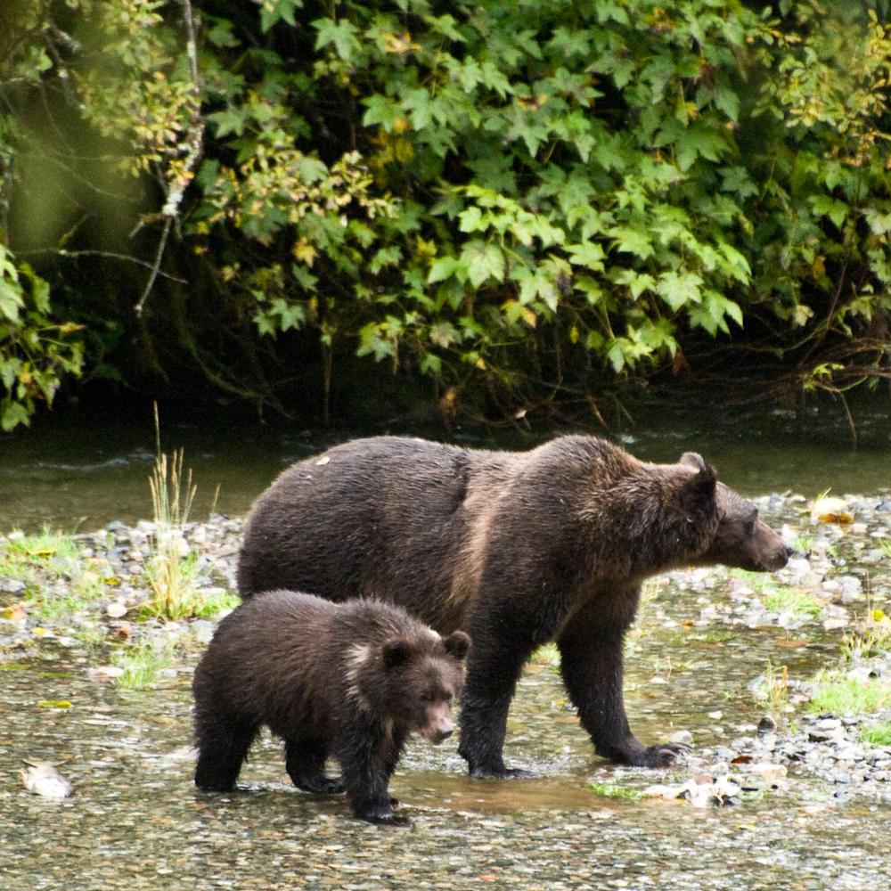 Dsc 5159 fish creek grizzlies voegml