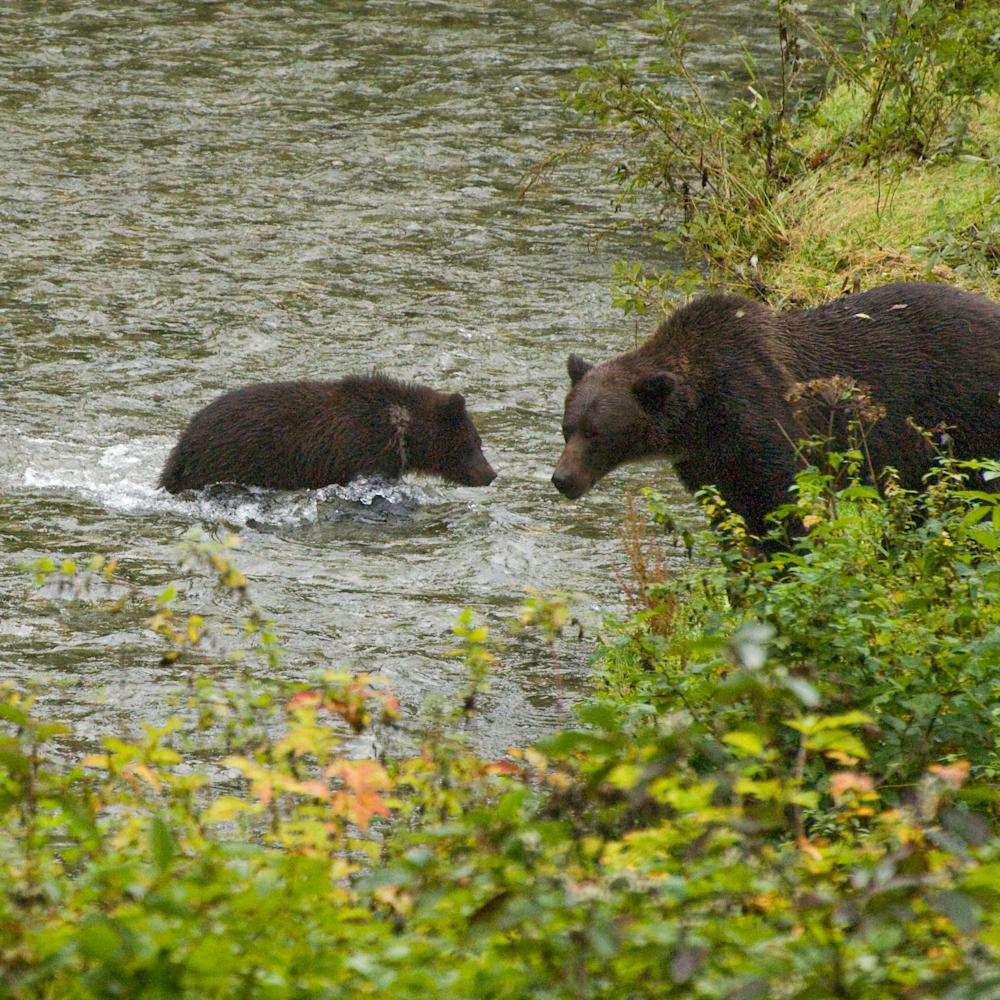 Grizzly mom warns cub yjsvb0