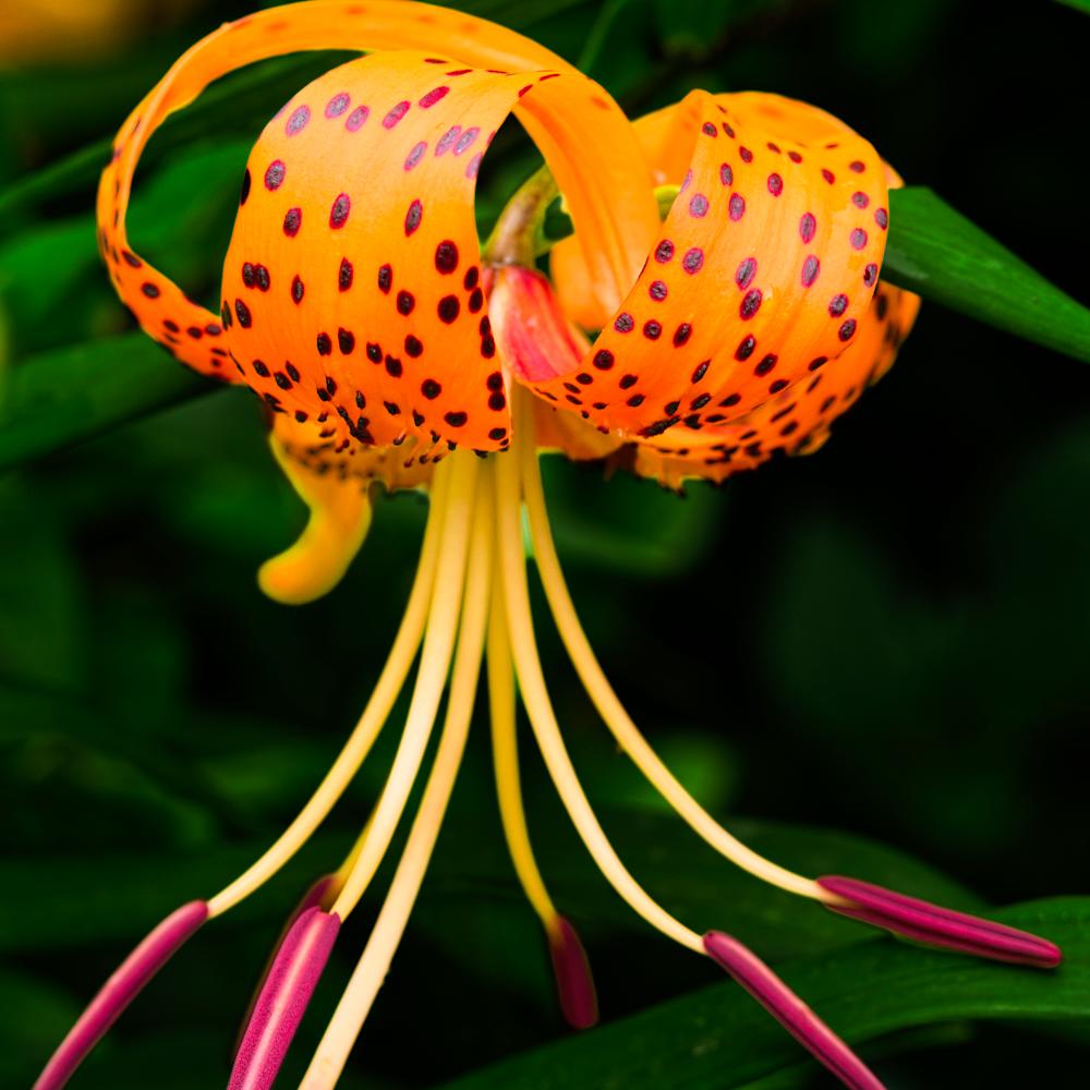 Oriental lily color szt4pa