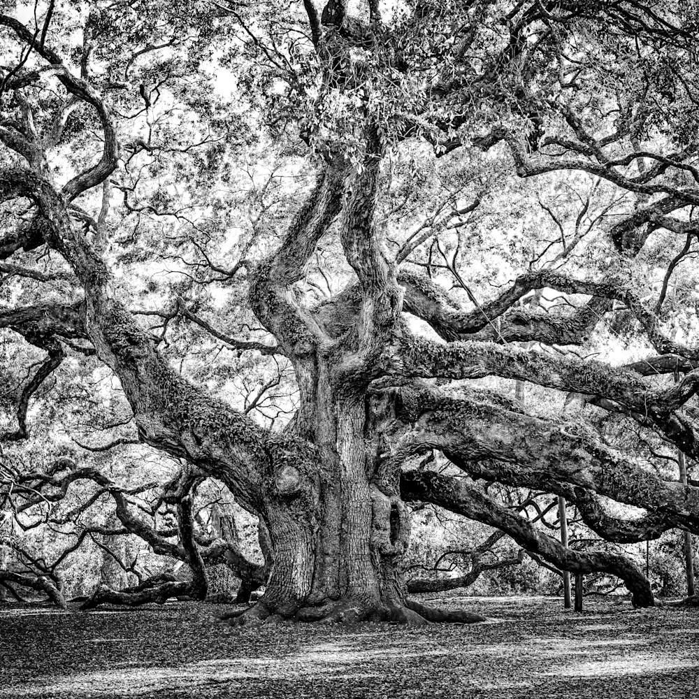 Fine oak tree art dmycdy
