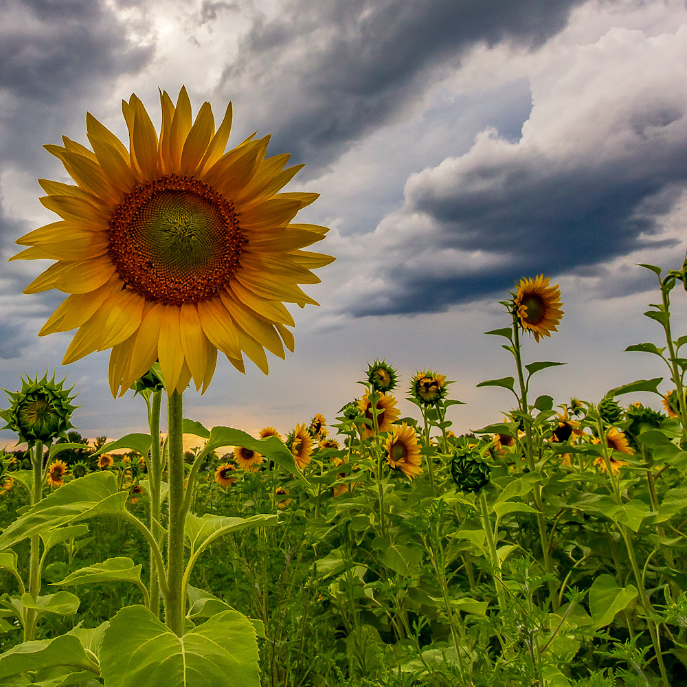 Sunflowers 2018 ps rev hip1wy