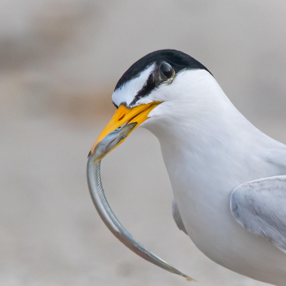 Least tern with sand eel mcyo2f