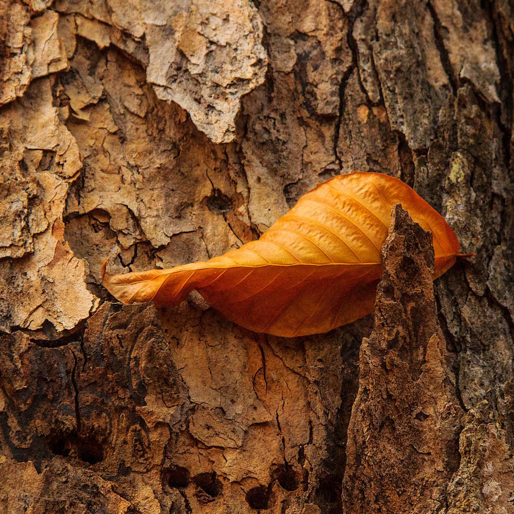 Leaf in bark lhyuhe