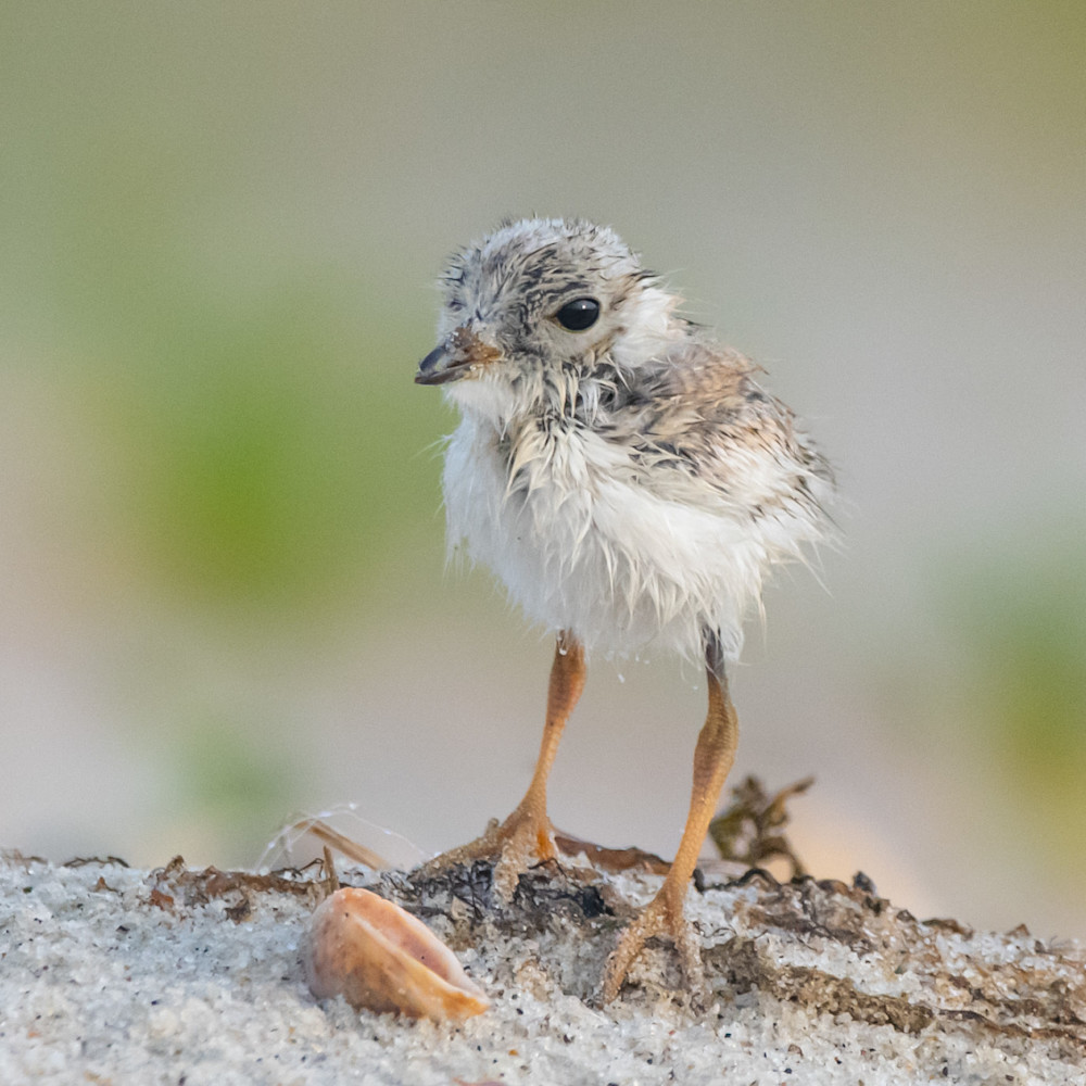 Piping plover chick with shell ggen9o