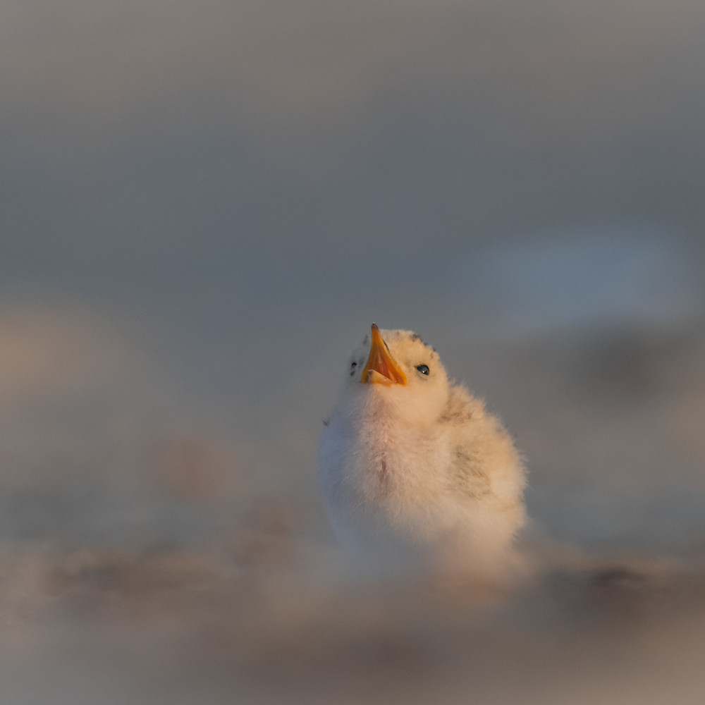 Tern chick looks to the sky qntczx