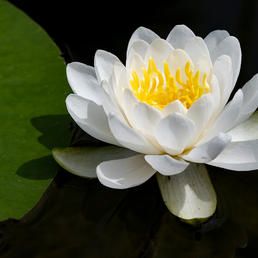 Dp656 water lilly huauhw