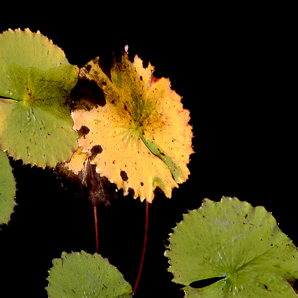 Closer earth lily pads in brooklyn 3 acny1063 nature photography sherry mills print o4g71f