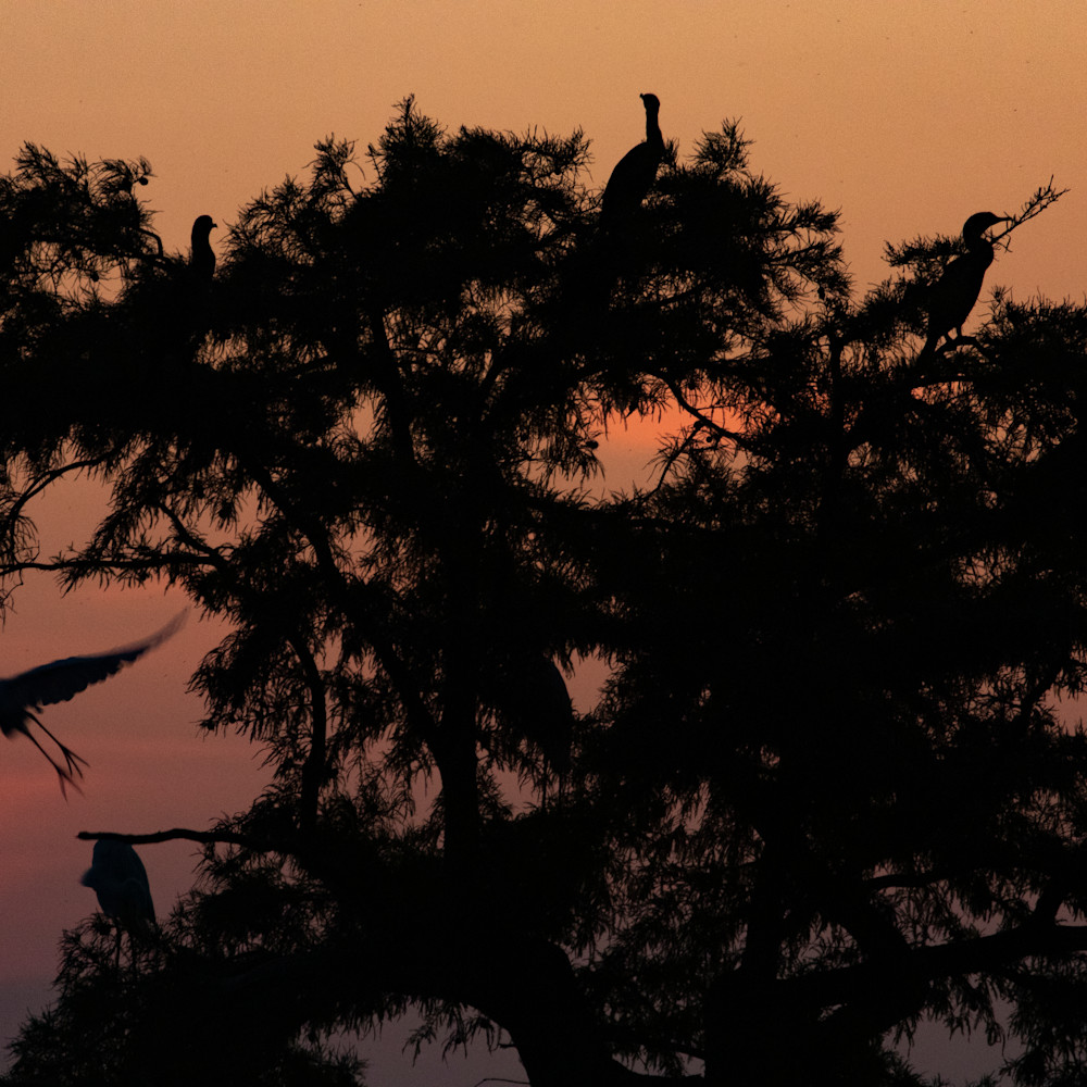 Egret tree sunrise  mg 8417 rlt20 g4bki6