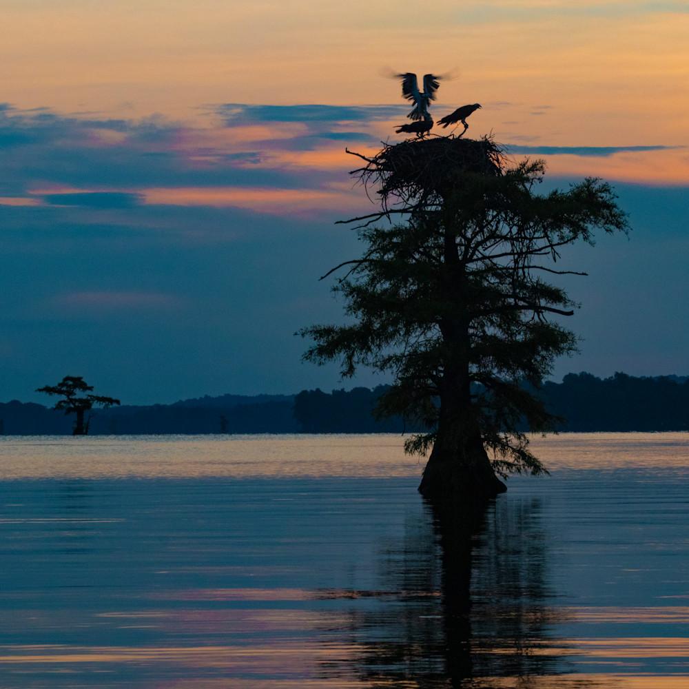 Osprey nest wings sunrise v2 mg 9125 rlt20 hbmusv