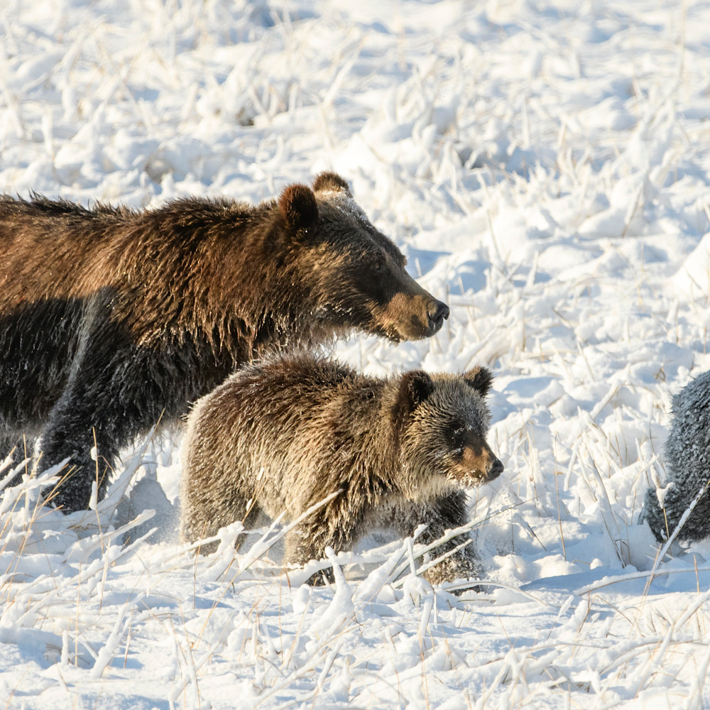 First snow grizzly quads x2150 2.5  5375 x 2150 j100argb s1blko100p6h5v2rt 20200912 2201 bkaz6n
