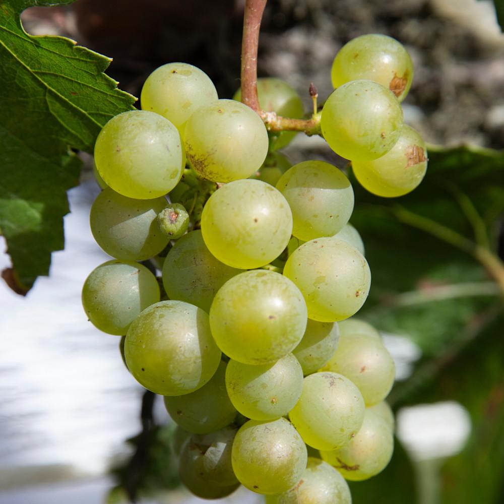 Carrick grapes 1 hbry5n