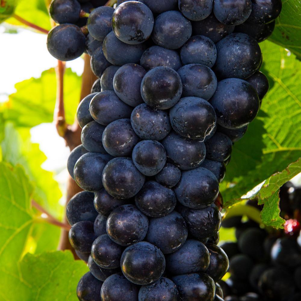 Carrick grapes 2 su8j9x