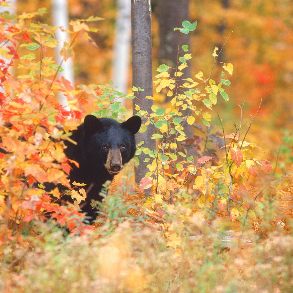 Black bear in autumn color tgvvm9