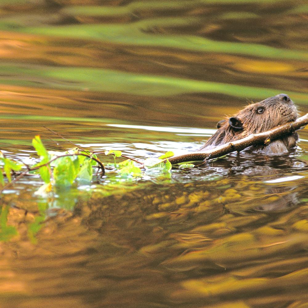 American beaver fponaa