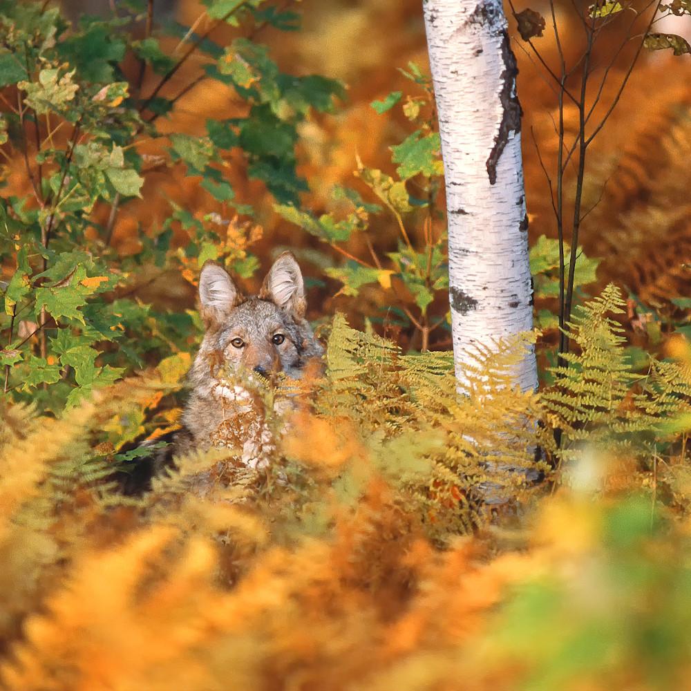 Coyote in ferns gldhzv