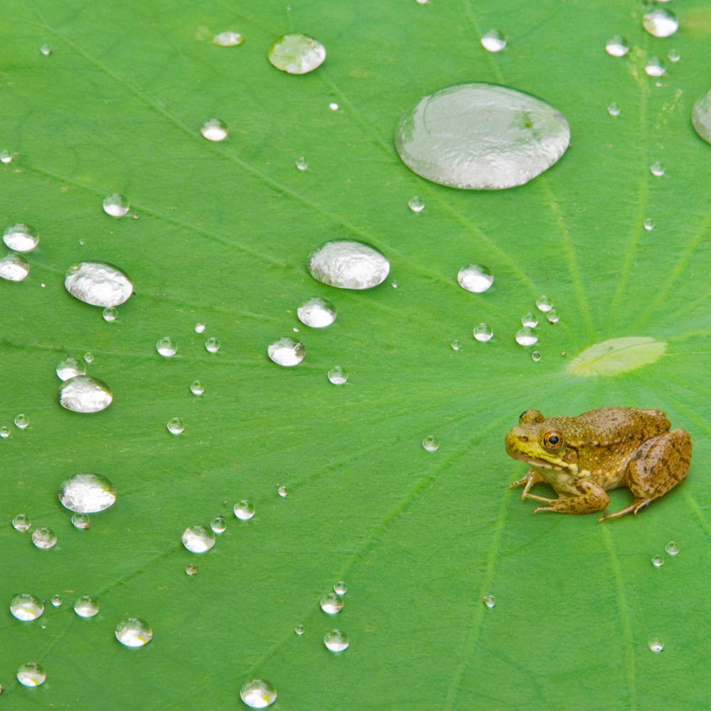Green frog on lotus pad l9nbvz