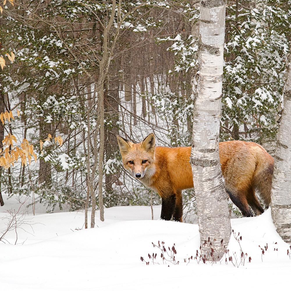 Red fox in snow mjv5is