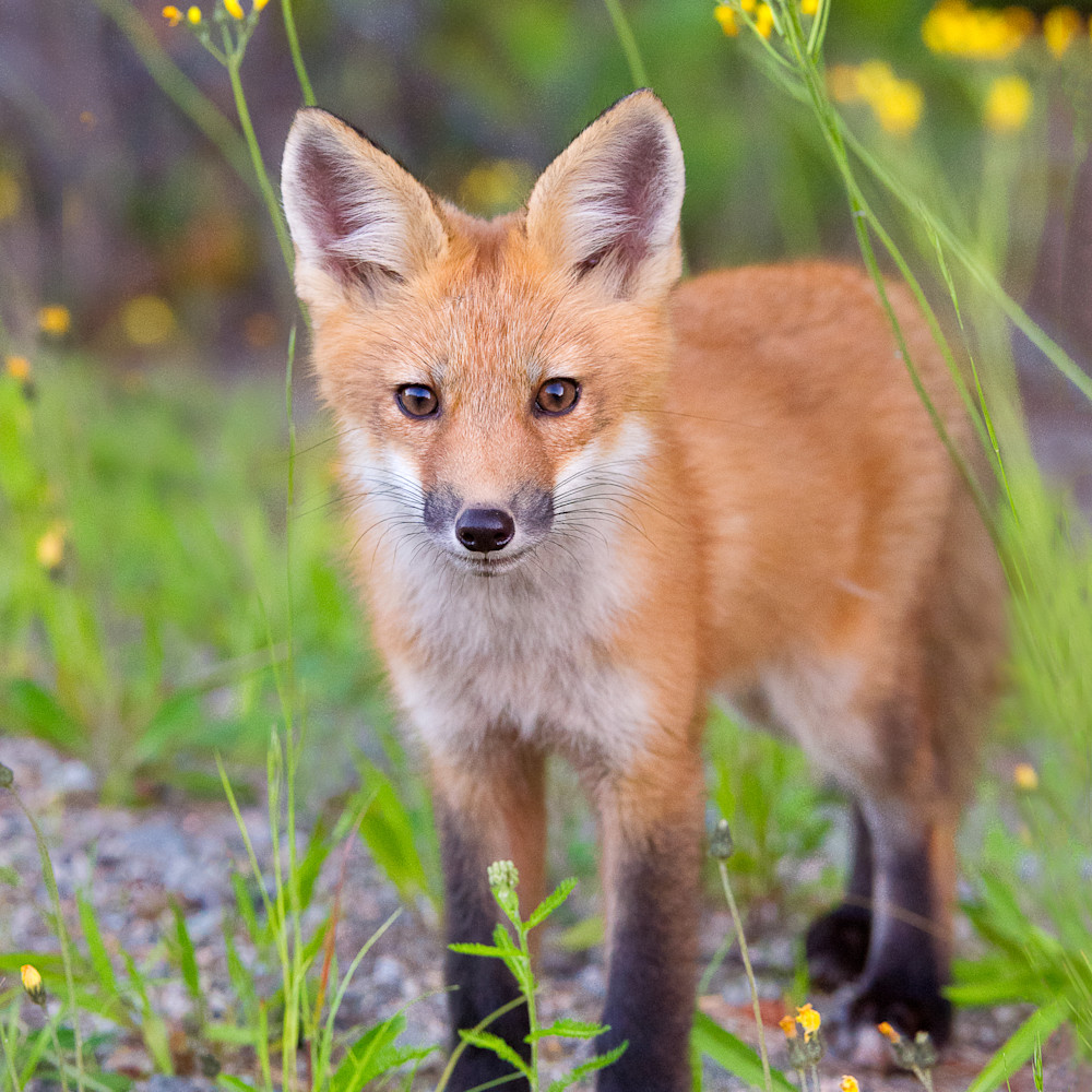 Red fox in yellow foowers st046e