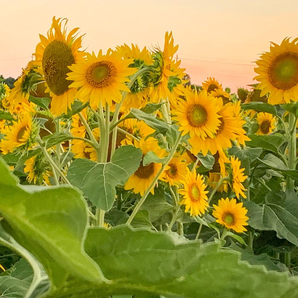 40x30 sunflowers 6280 ttrvra