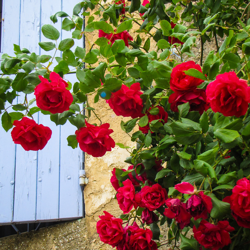 40x30 wild climbing roses  v2kdwe